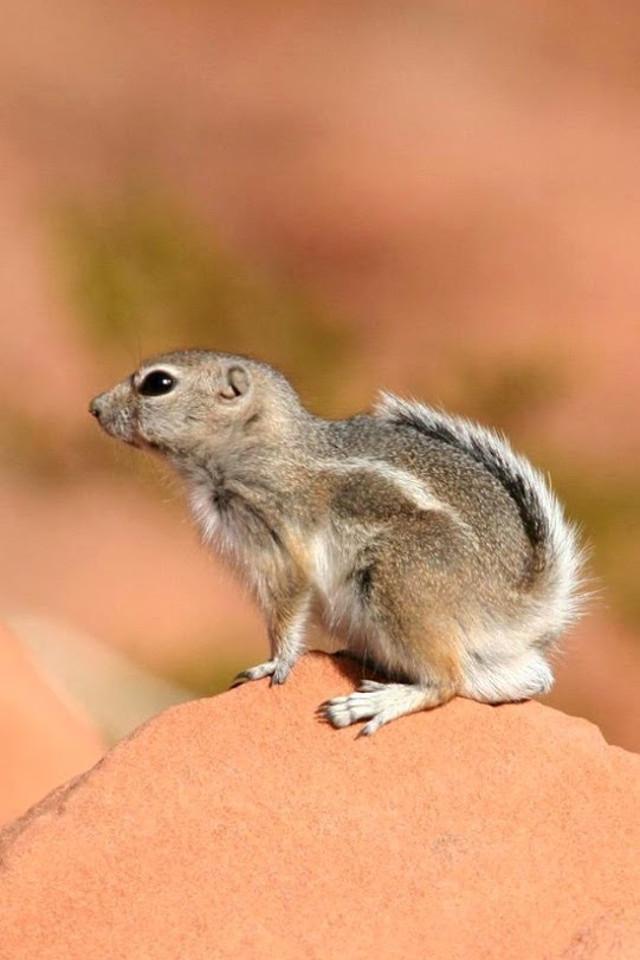 Cute little squirrel animal mobile phone wallpaper4 640x960