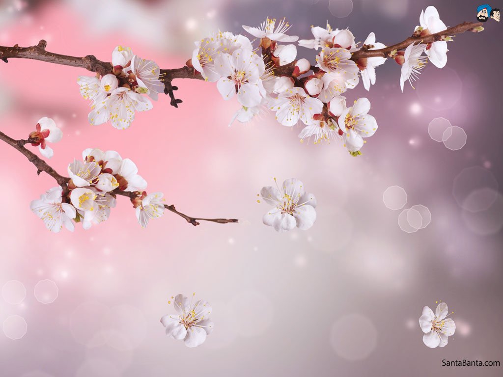 Free Download Cherry Blossoms 1024x768 For Your Desktop