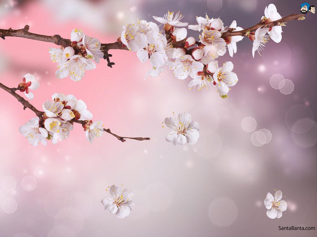Cherry Blossom Wallpaper Hd Wallpapersafari