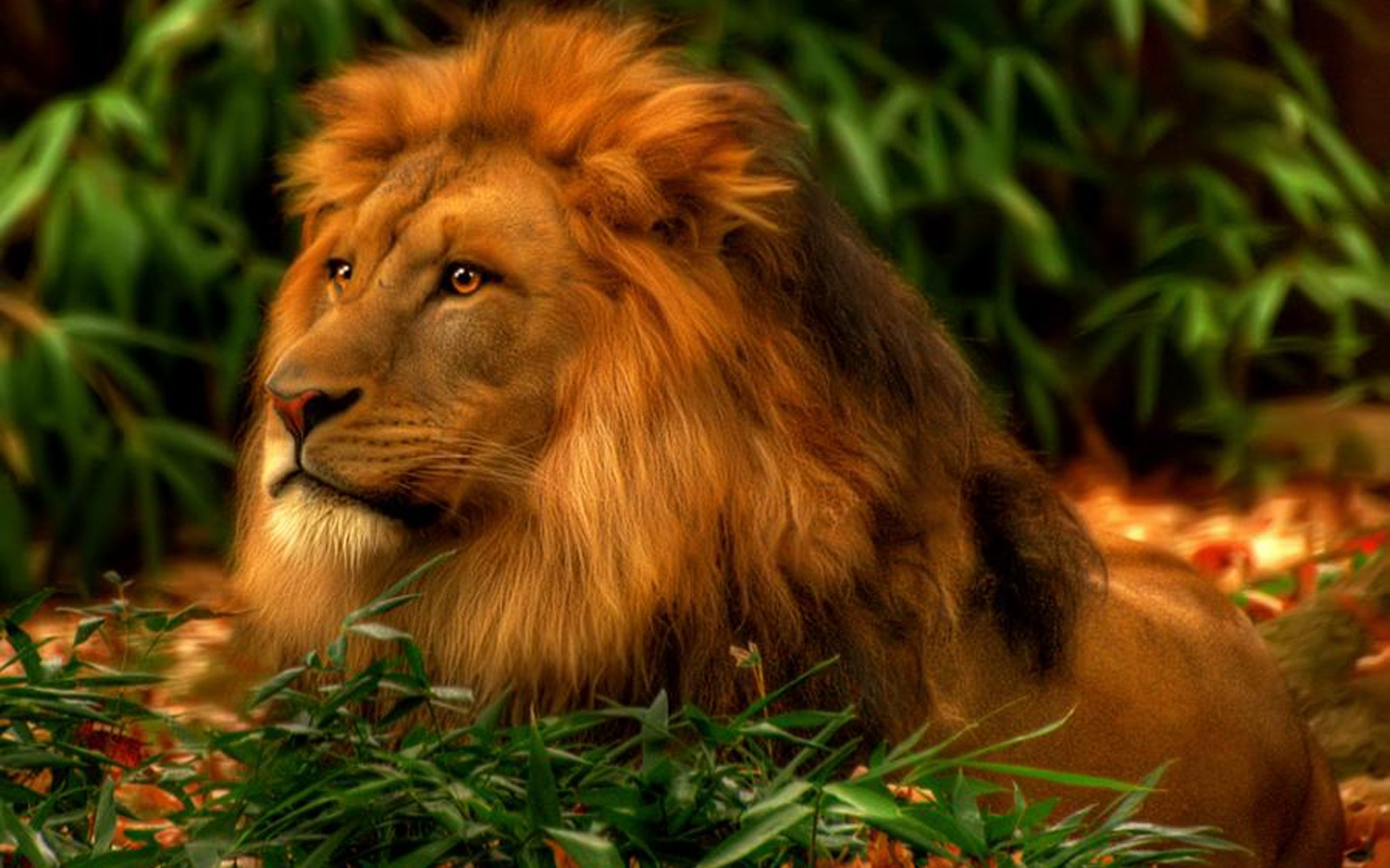 lion live wallpaper hd