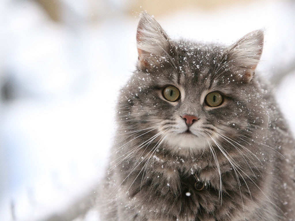 Cute cat in the snow desktop wallpaper Programming Resource Center 1024x768