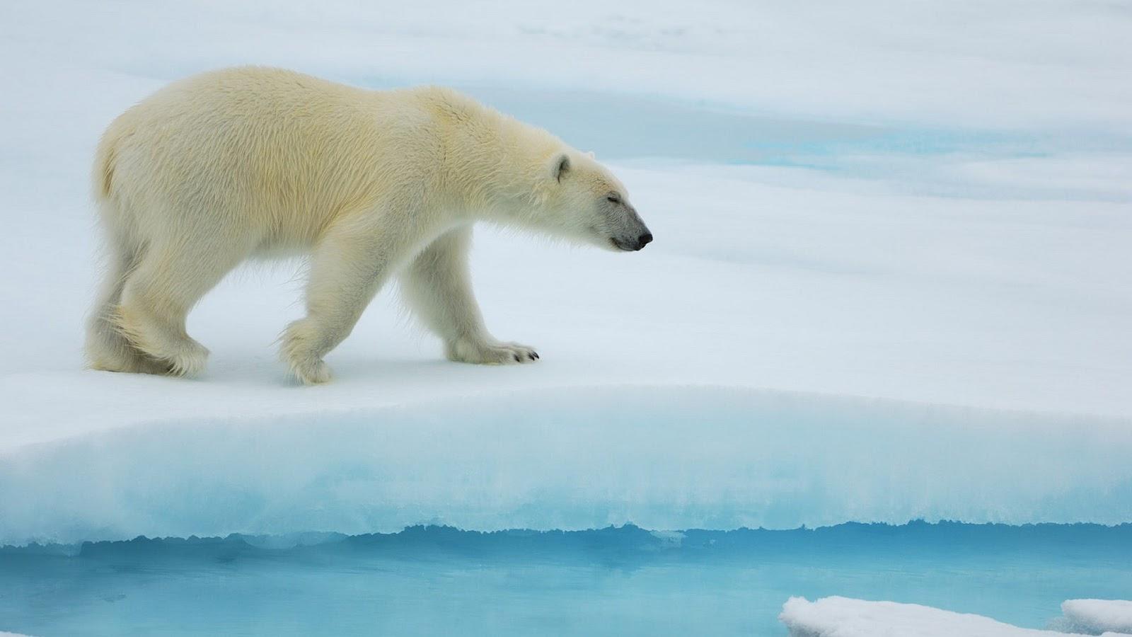 Polar Bear Wallpaper HD