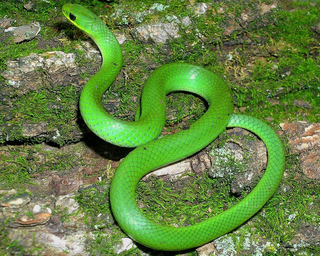 Green snake wallpaper wallpapersafari - Green snake hd wallpaper ...