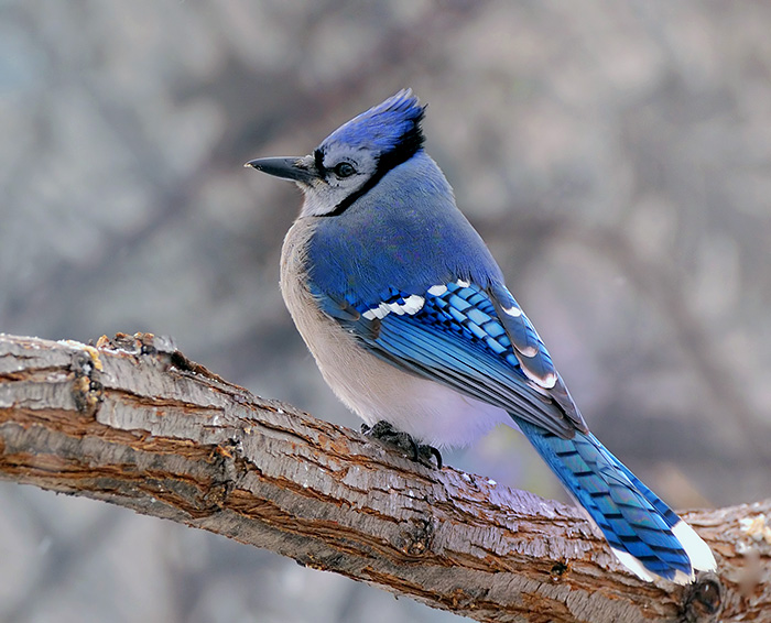 HD Desktop Wallpaper blue jay wallpapers 700x566