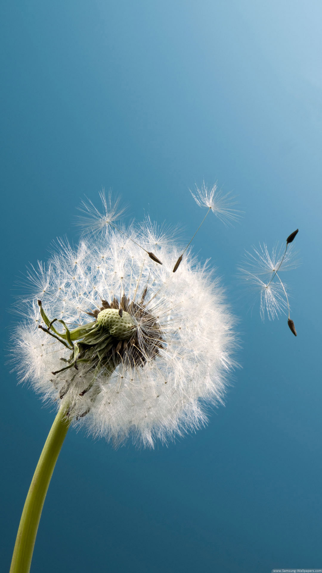 Dandelion Wind Blow Android Wallpaper free download