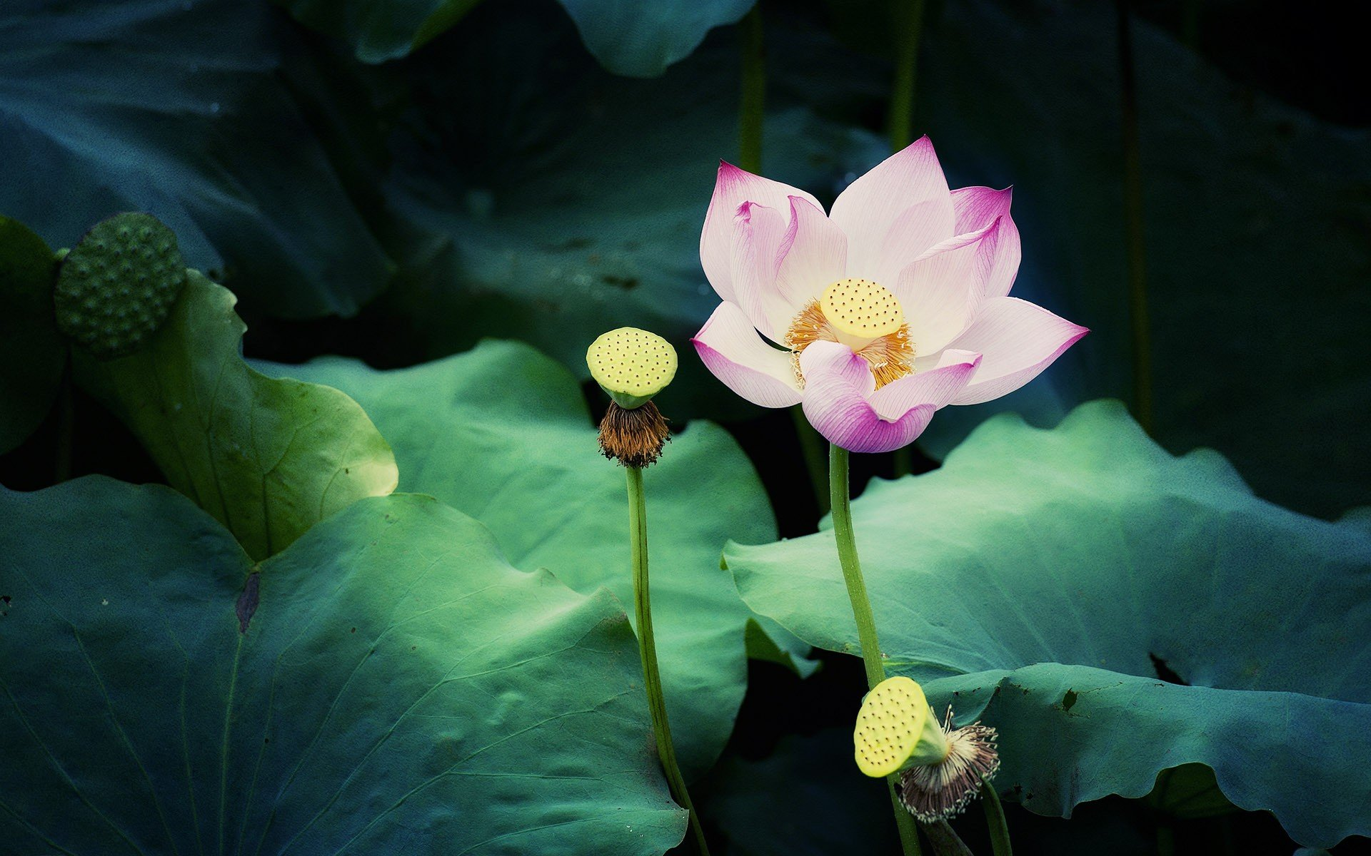 Screensaver for iphone 5 download free - Lotus Flower Iphone Wallpaper Wallpapersafari