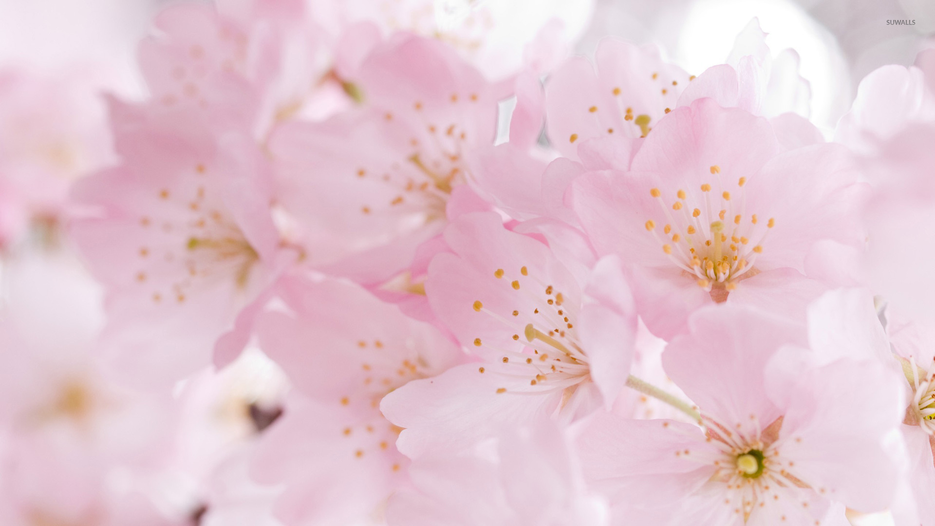 japanese cherry blossom wallpaper 1920x1080 Car Pictures HTML code