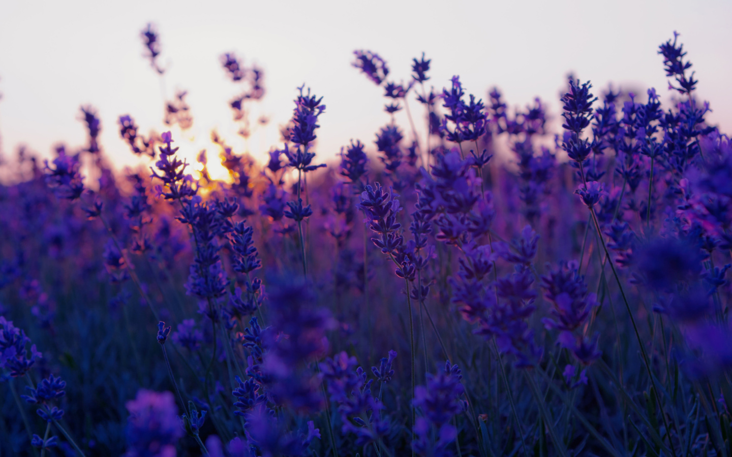 Lavender Flower Background Wallpaper WallpaperzCO 1440x900