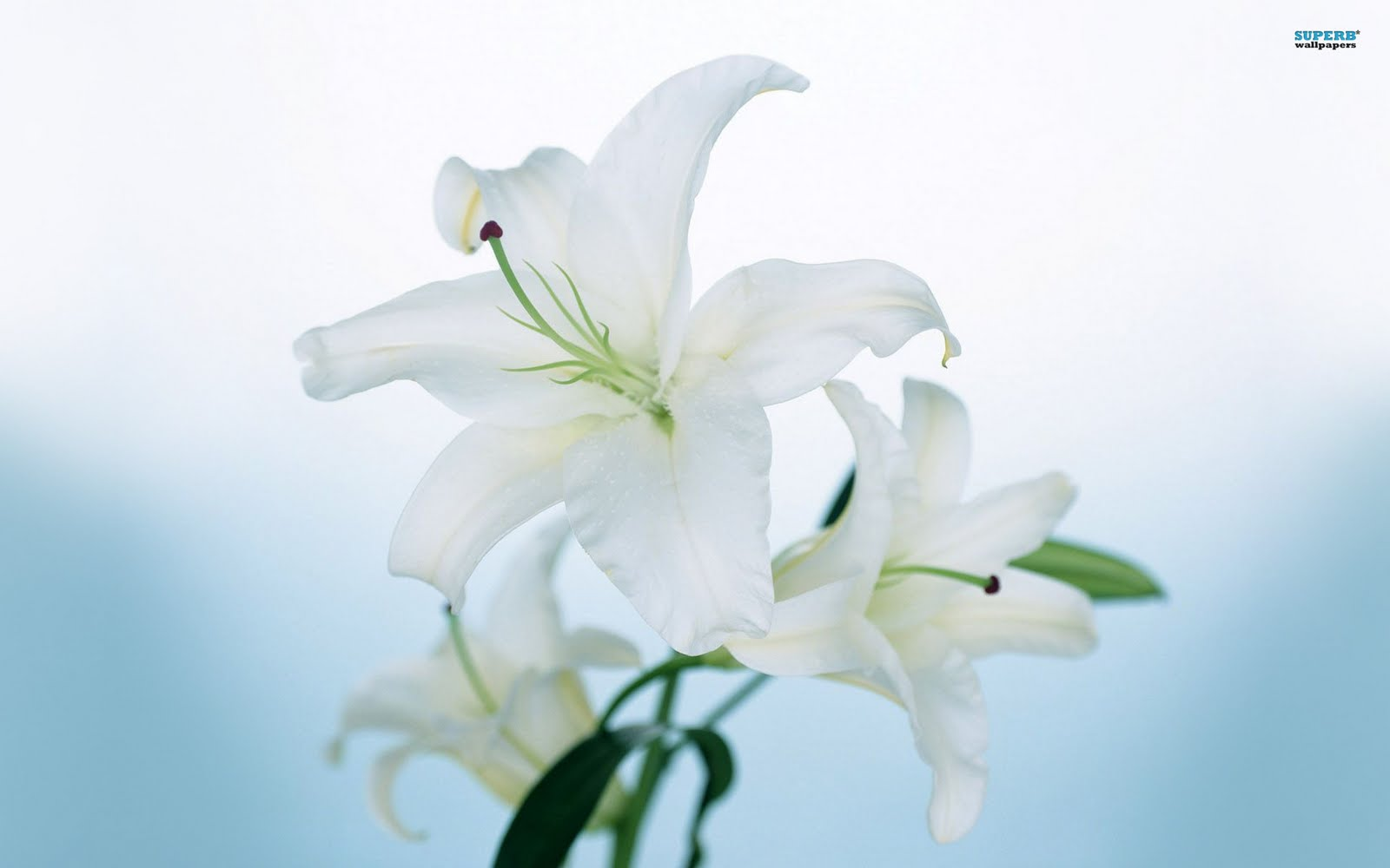 white lily flowers wallpapers white lily flowers wallpapers white lily 1600x1000