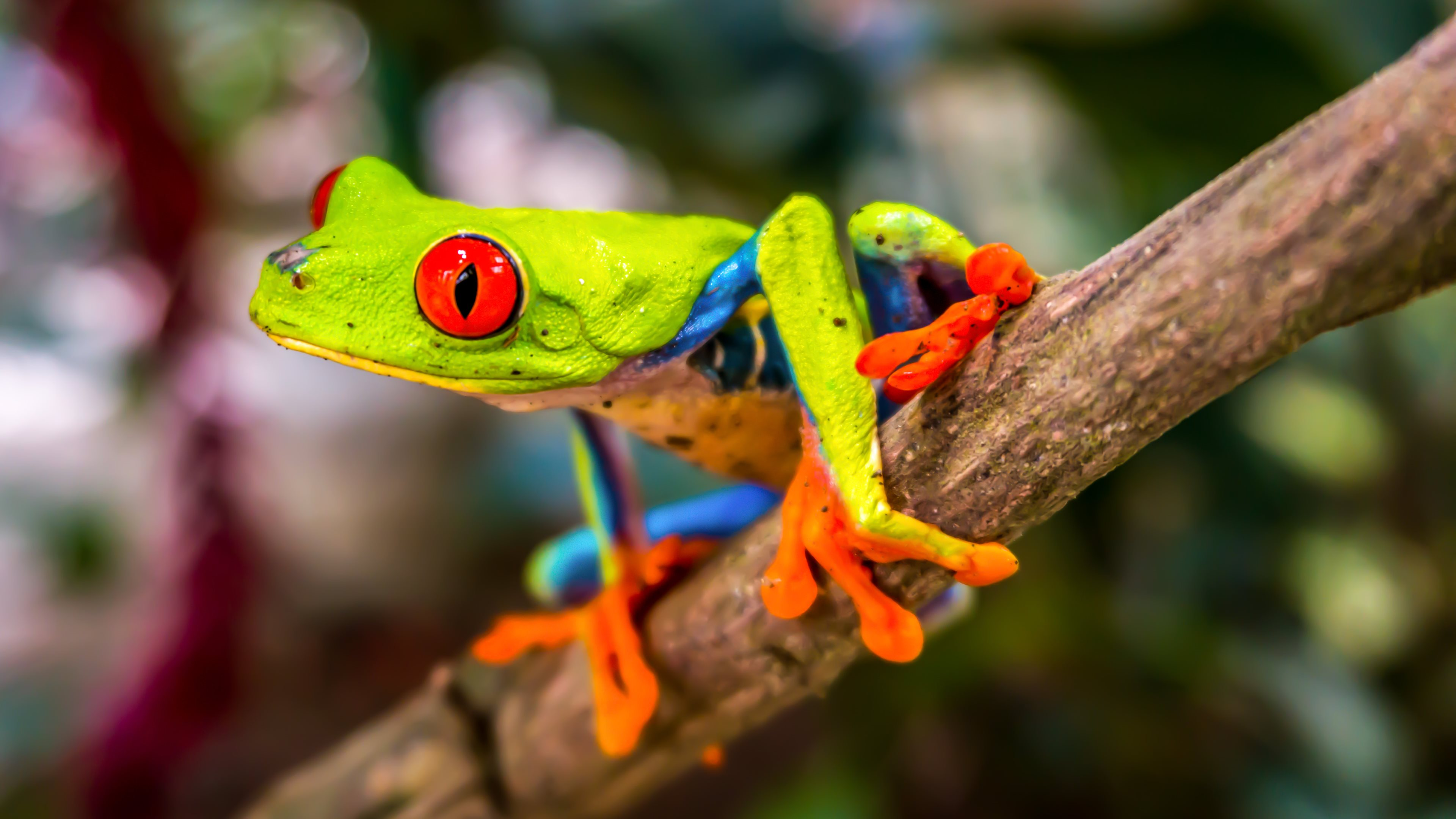 Tree Frog Wallpaper on Red Frog Beach
