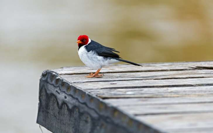 Red capped Cardinal Bird Hd Wallpaper Wallpaper List 728x455