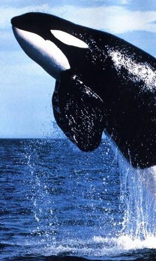 Killer Whale Wallpaper Tags whales wallpaper 307x512