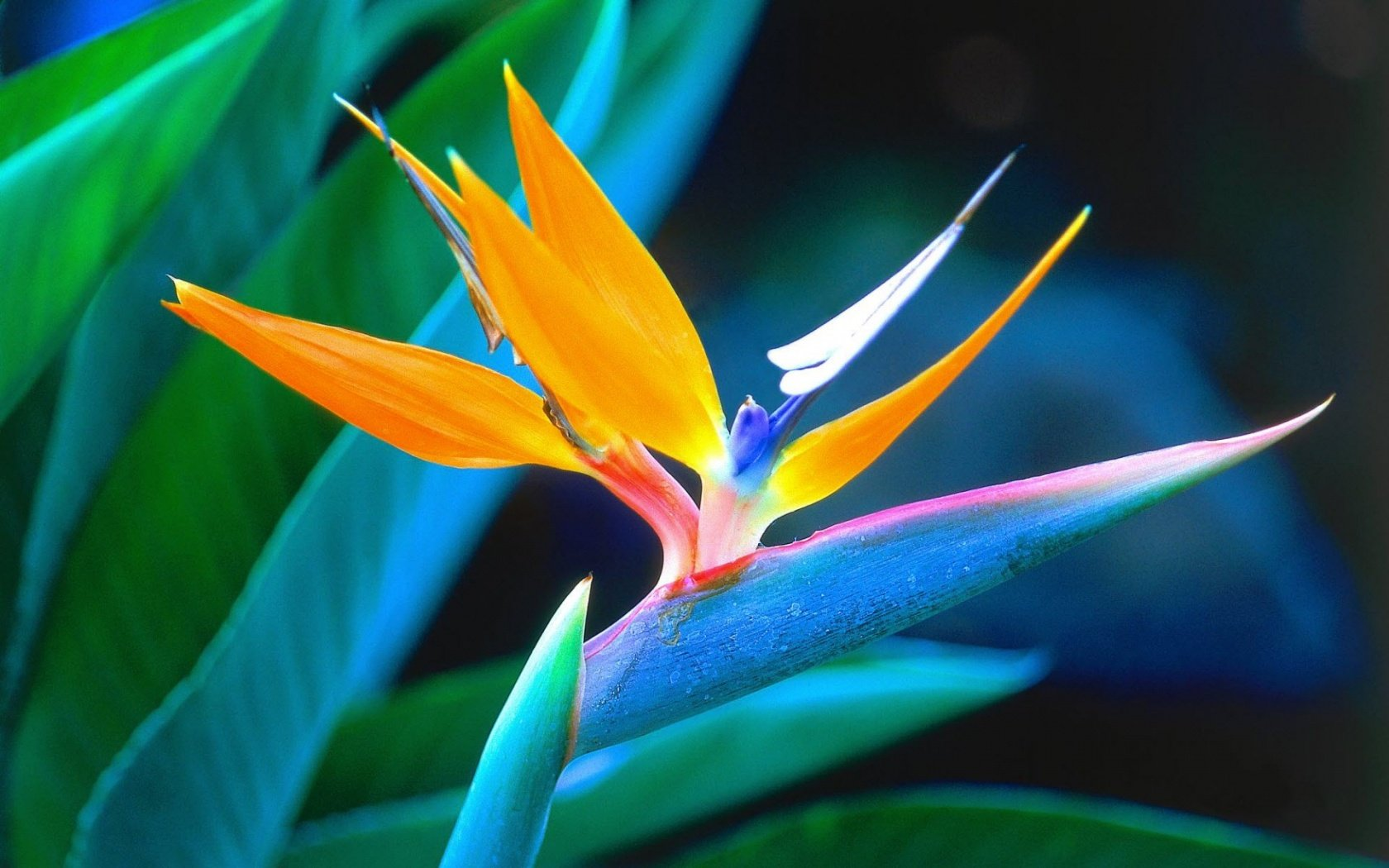 Bird of Paradise Wallpapers HD Wallpapers 1680x1050