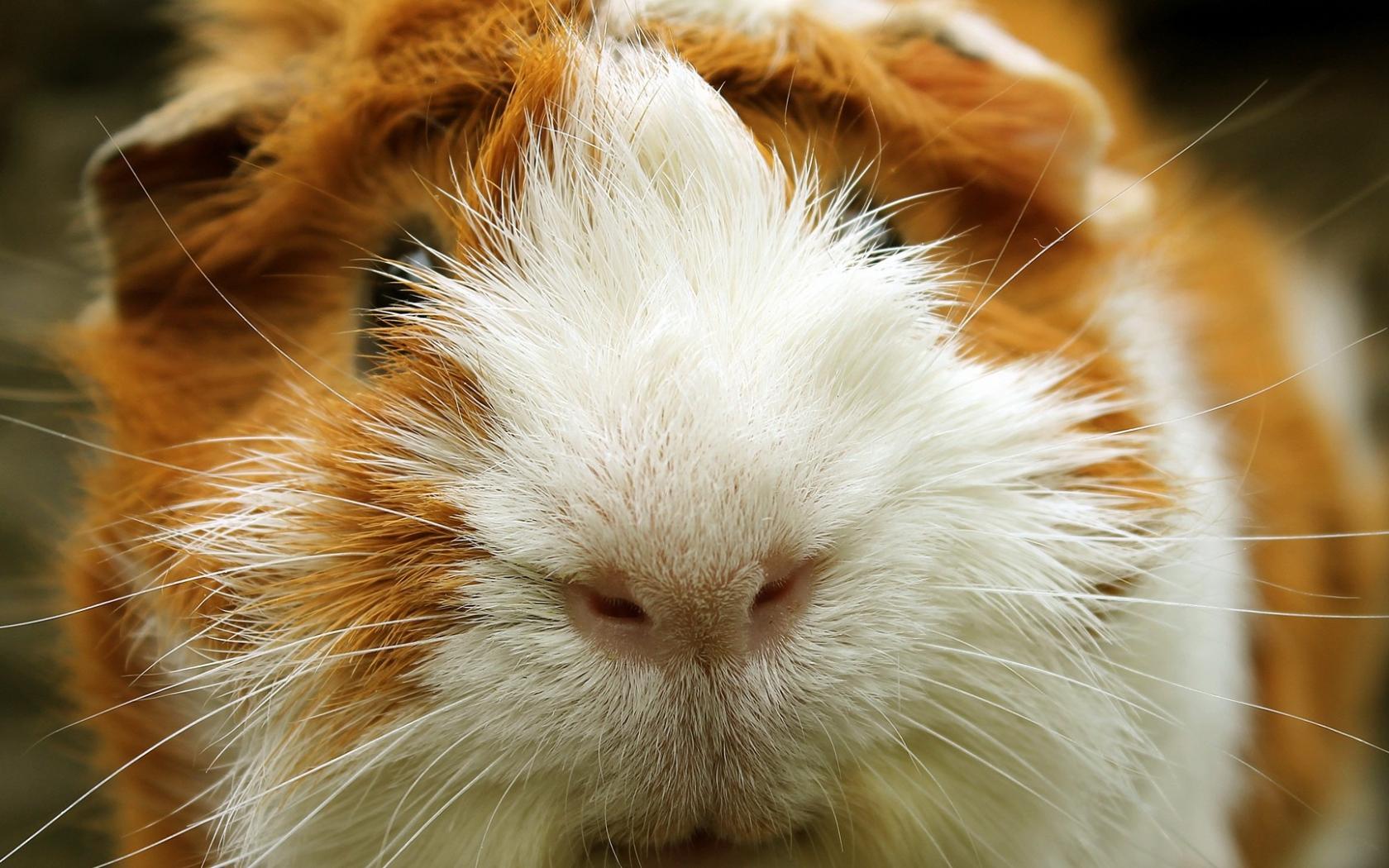 825044 guinea pig wallpaperjpg 1680x1050