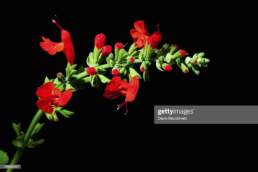 Red Salvia On A Black Background Stock Photo   Getty Images 1024x683