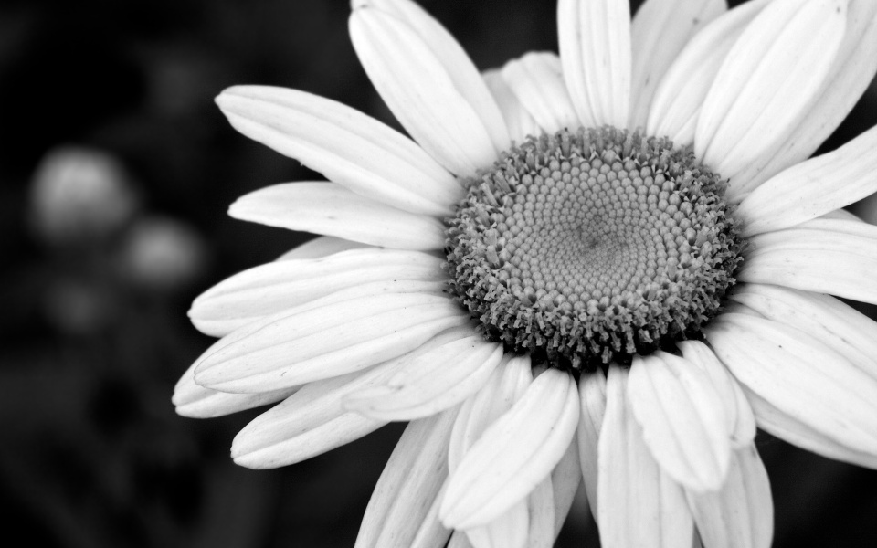 Download Black and White Flower Wallpaper Backgrounds for Desktop 960x600