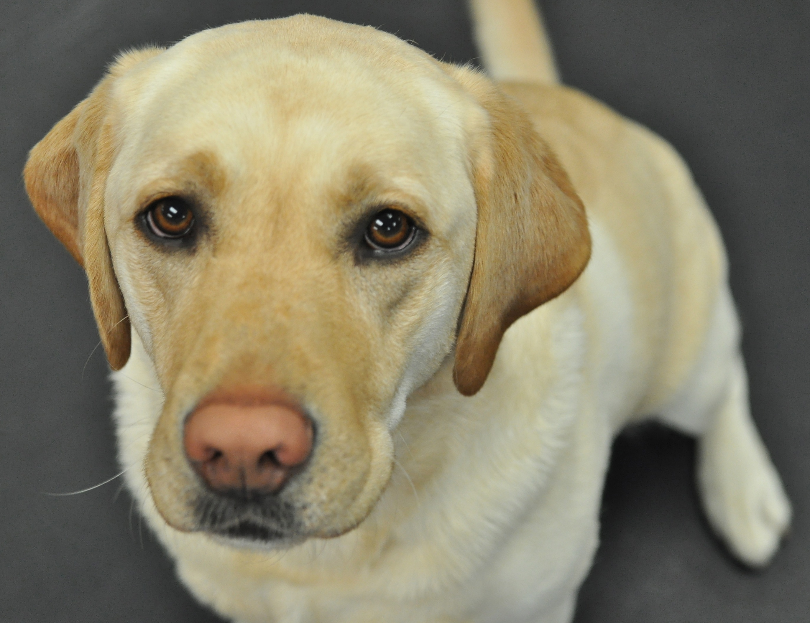 Yellow Labrador Retriever Puppies 922056 Yellow Labrador Retriever 2747x2114