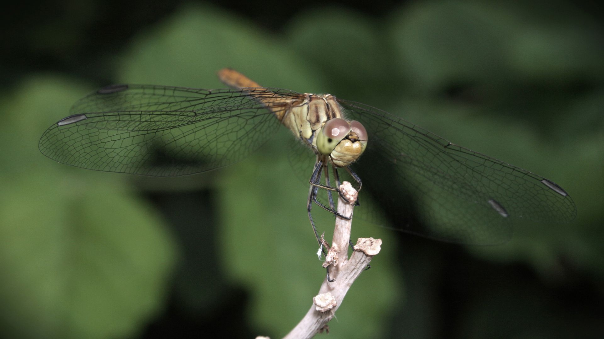 Dragonfly 1080p HD Wallpaper Nature Places to Visit 1920x1080