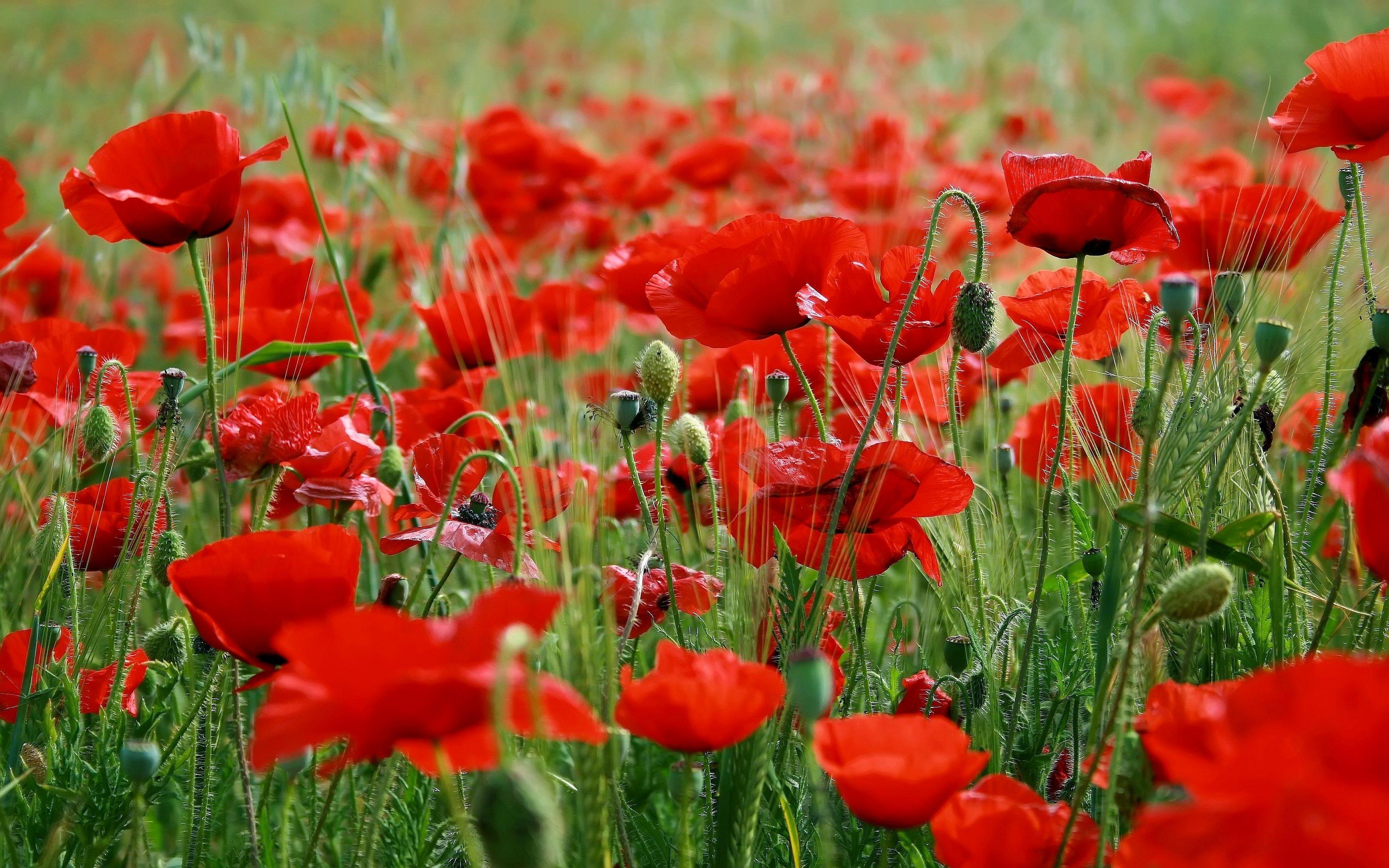 nature flowers fields poppy field wild poppies HD Wallpaper You are 3200x2000