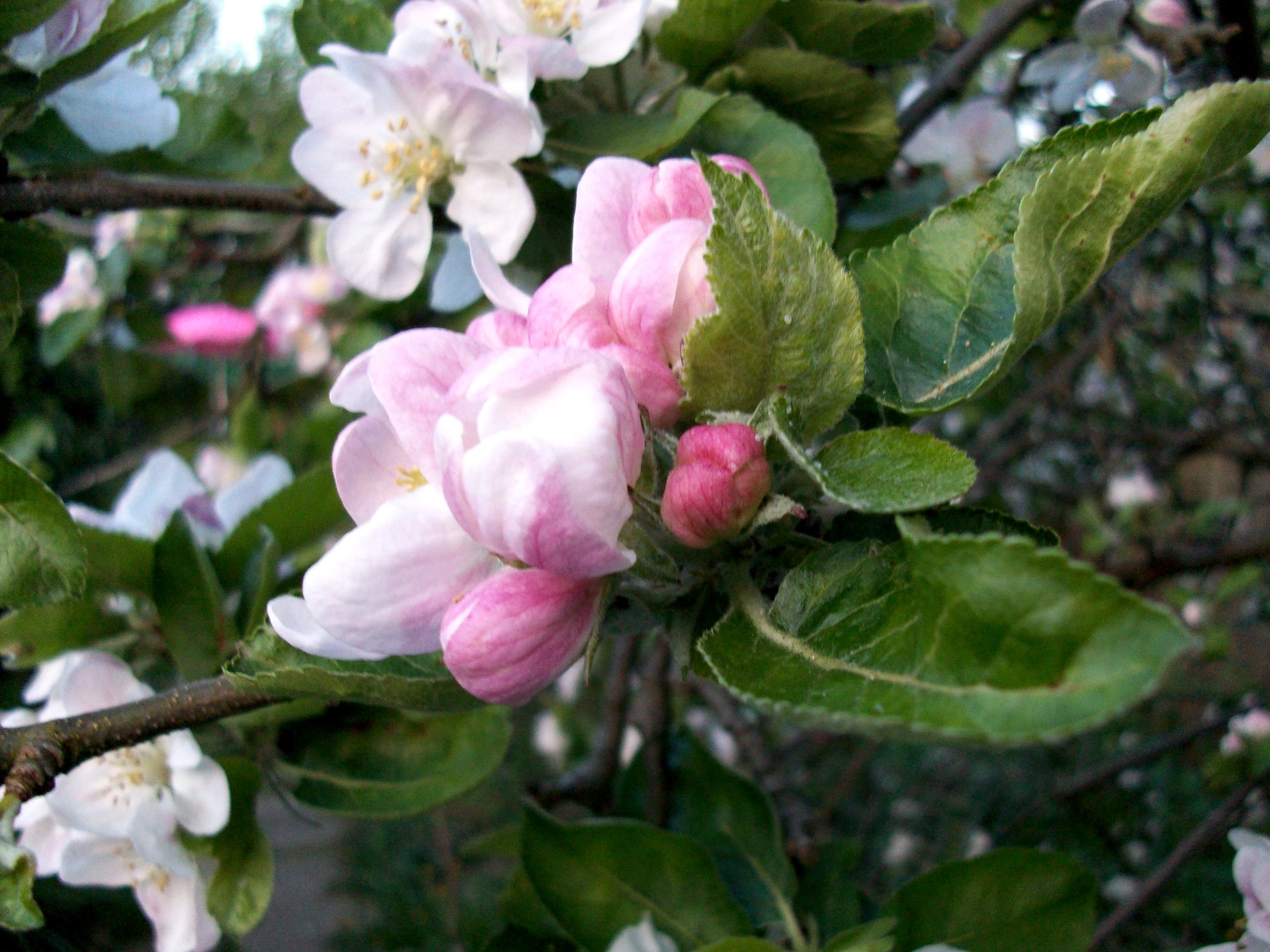 Apple Blossom II wallpapers Apple Blossom II stock photos 2560x1920