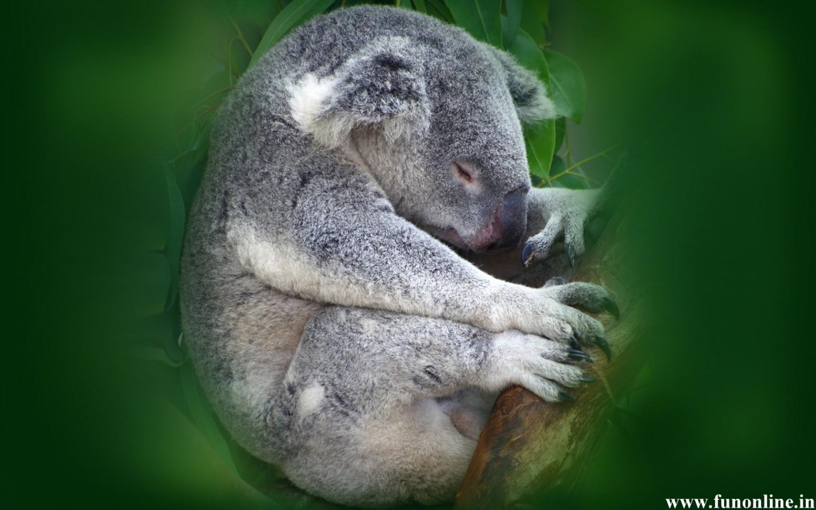 Koala Wallpapers, Download Free Cute and Pretty Koalas HD Wallpaper