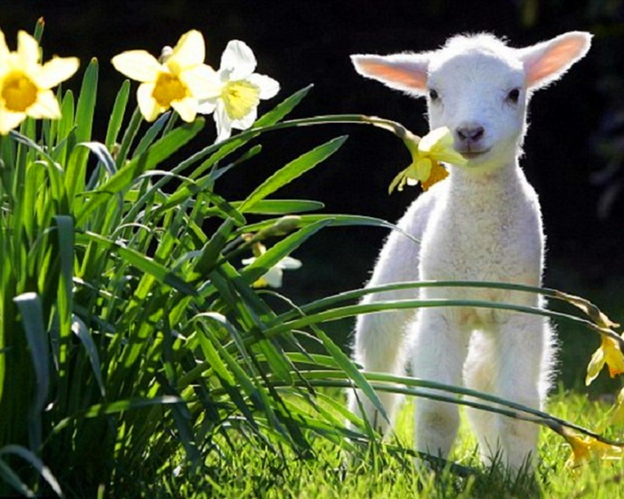 animals grass spring lamb daffodils lambs white flowers baby animals 1280x1024