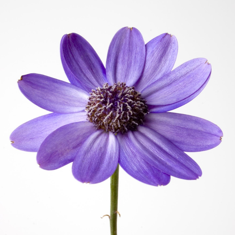 Purple Flower White Background