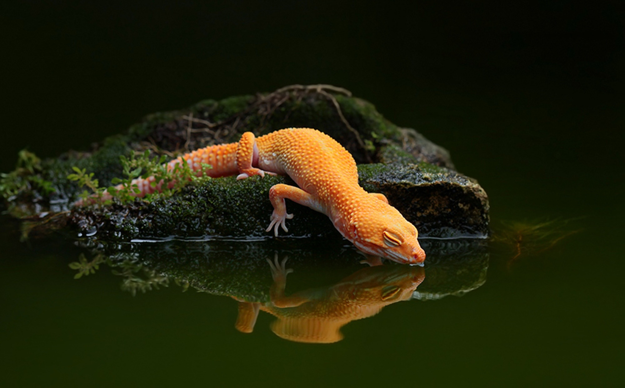 lizard Water Reflection Water Gecko Wallpapers HD Desktop 2000x1242