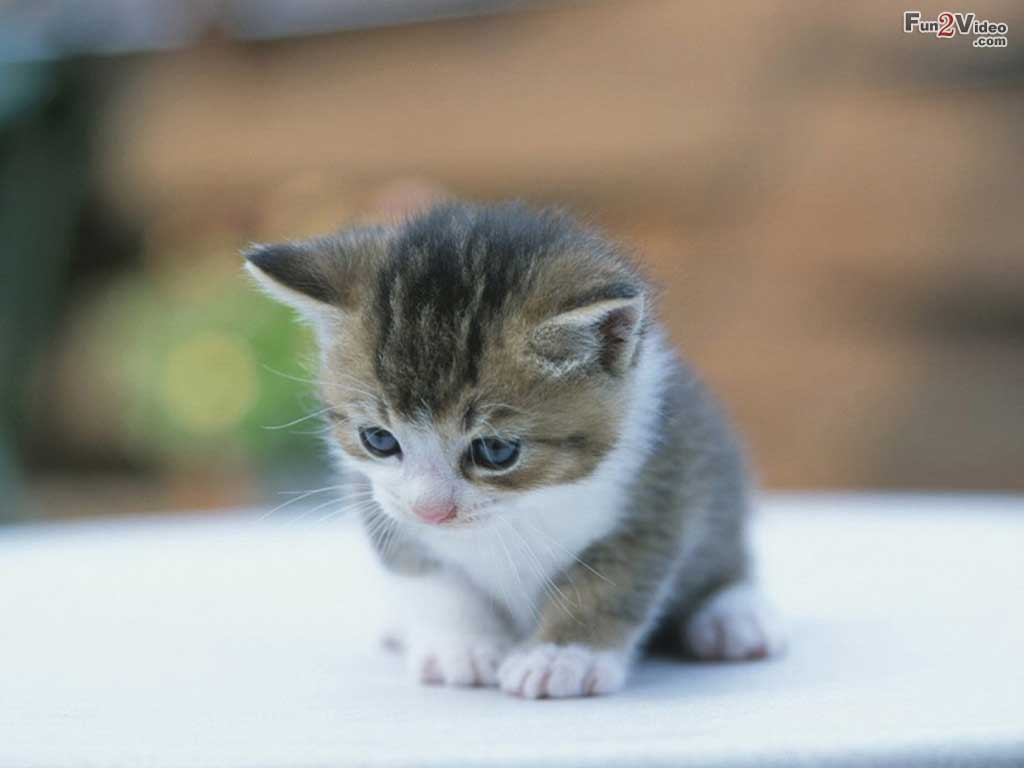 cute kitten wallpaper 1024x768