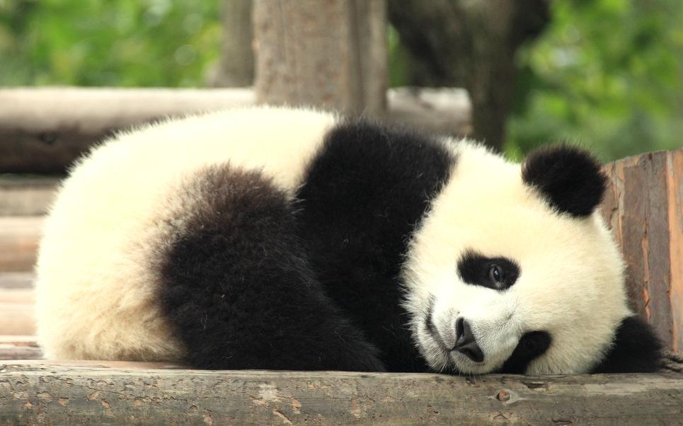 Cute Baby Panda Pics: Cute Baby Panda Wallpaper
