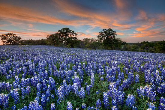 Bluebonnets Desktop Texas bluebonnets in the hill
