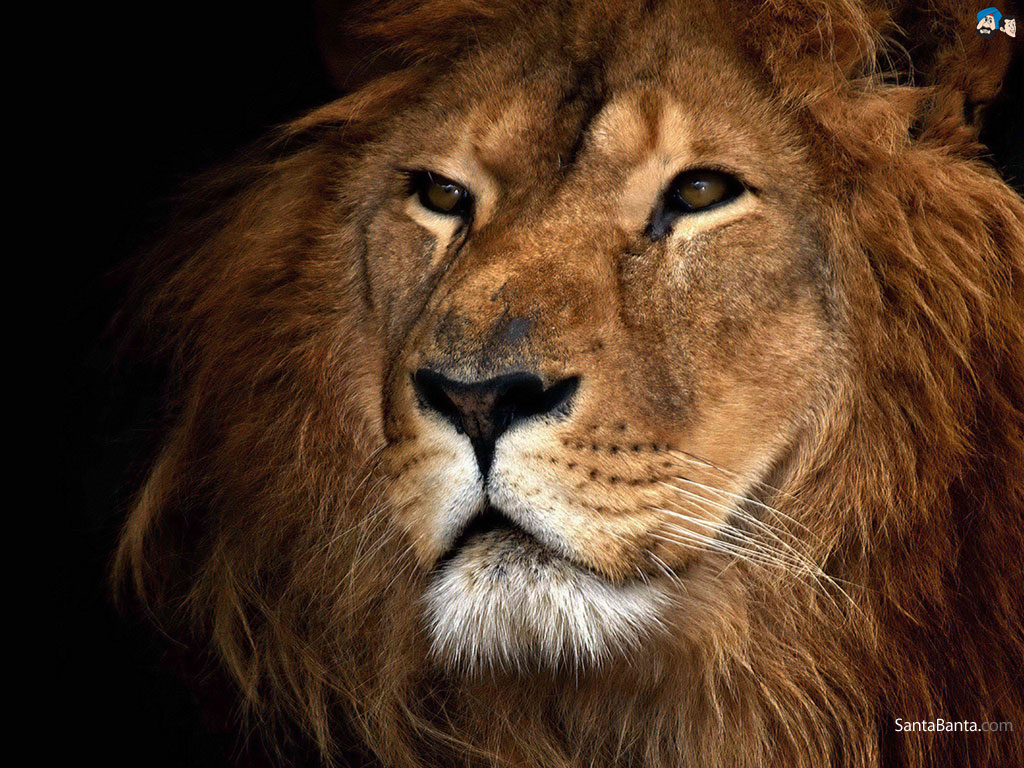 Wallpapers Animals Lions 1024x768