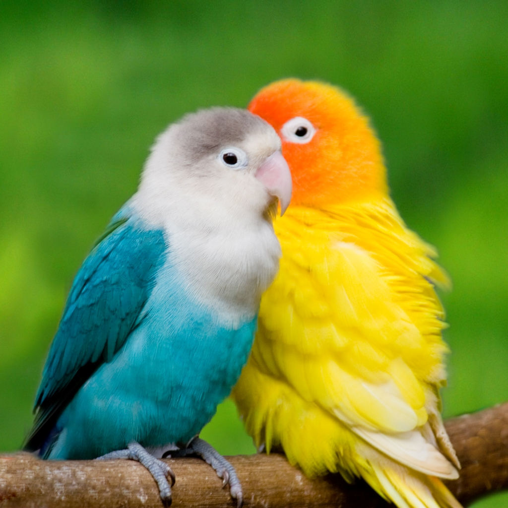 Wallpaper Gallery Love Bird Wallpaper   1 1024x1024