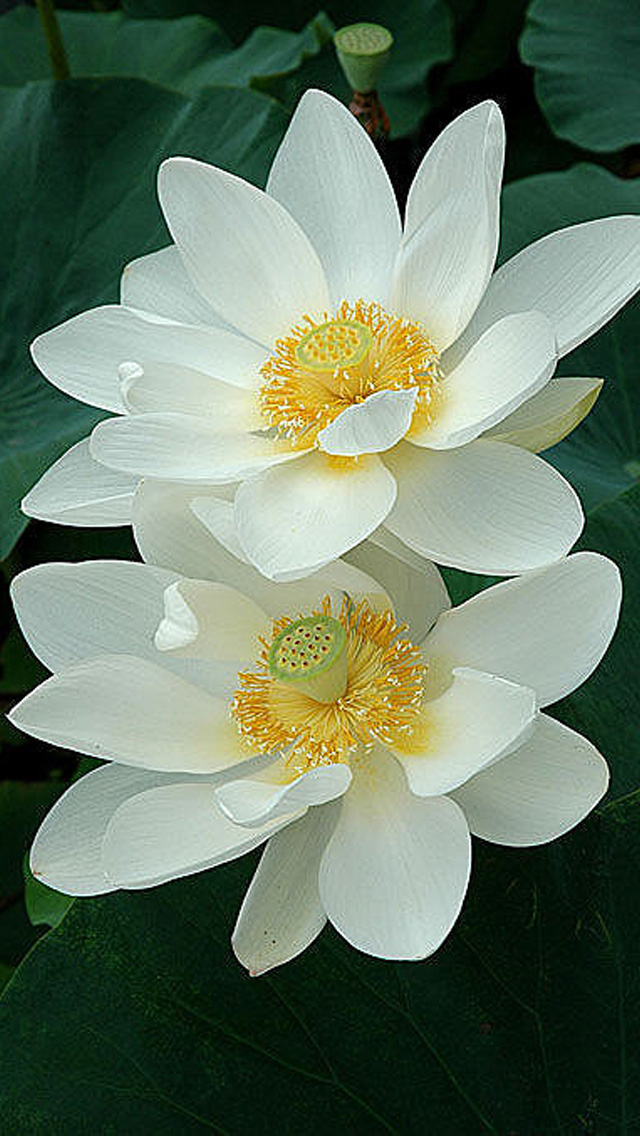 Lotus Flower Iphone Wallpaper Wallpapersafari