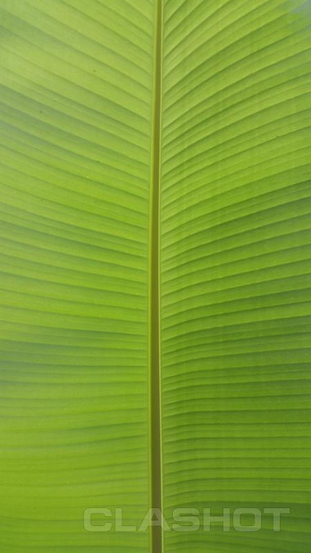 banana leafbananagreengardenbackgroundwallpaper 450x800