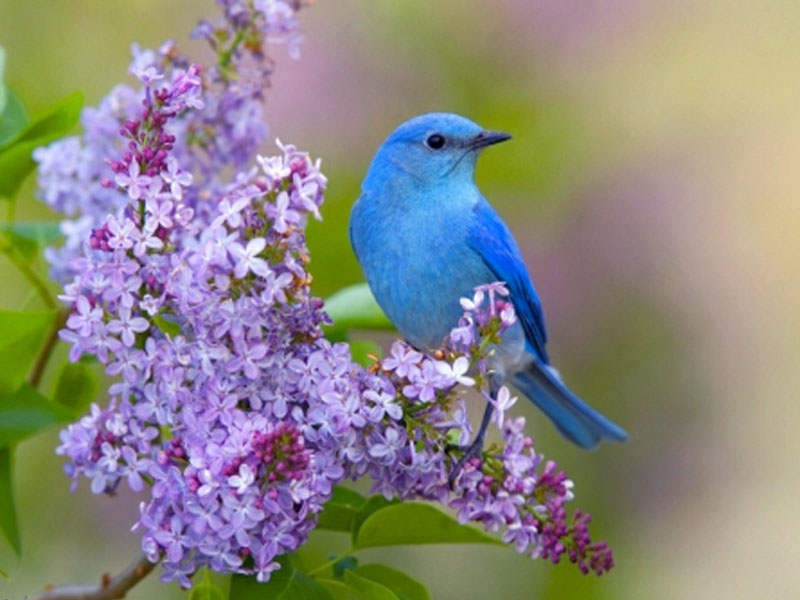 Desktop Wallpaper Gallery Animals Blue Bird Background Download 800x600