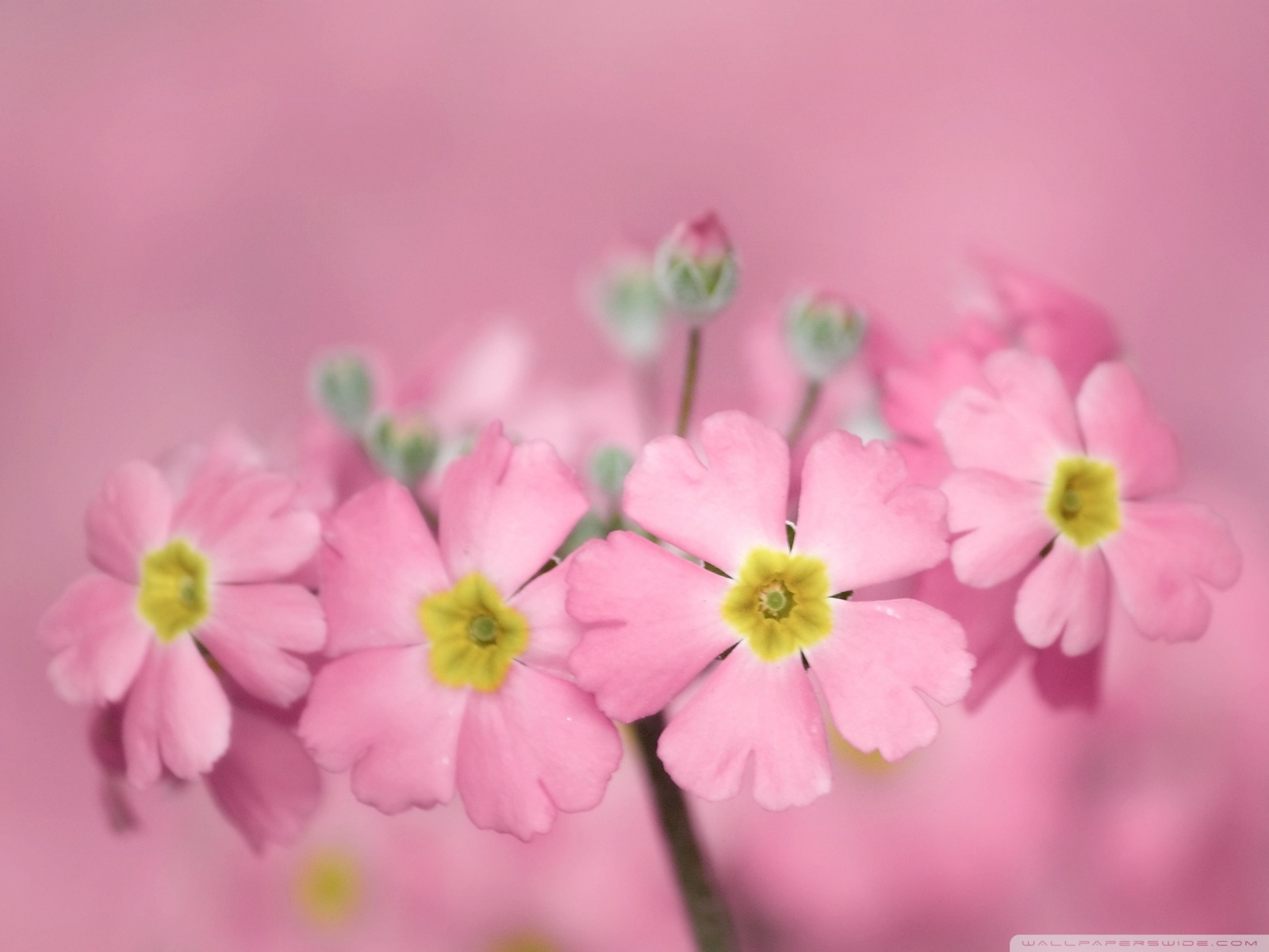 Wallpaper Tiny Pink Flowers 1600x1200
