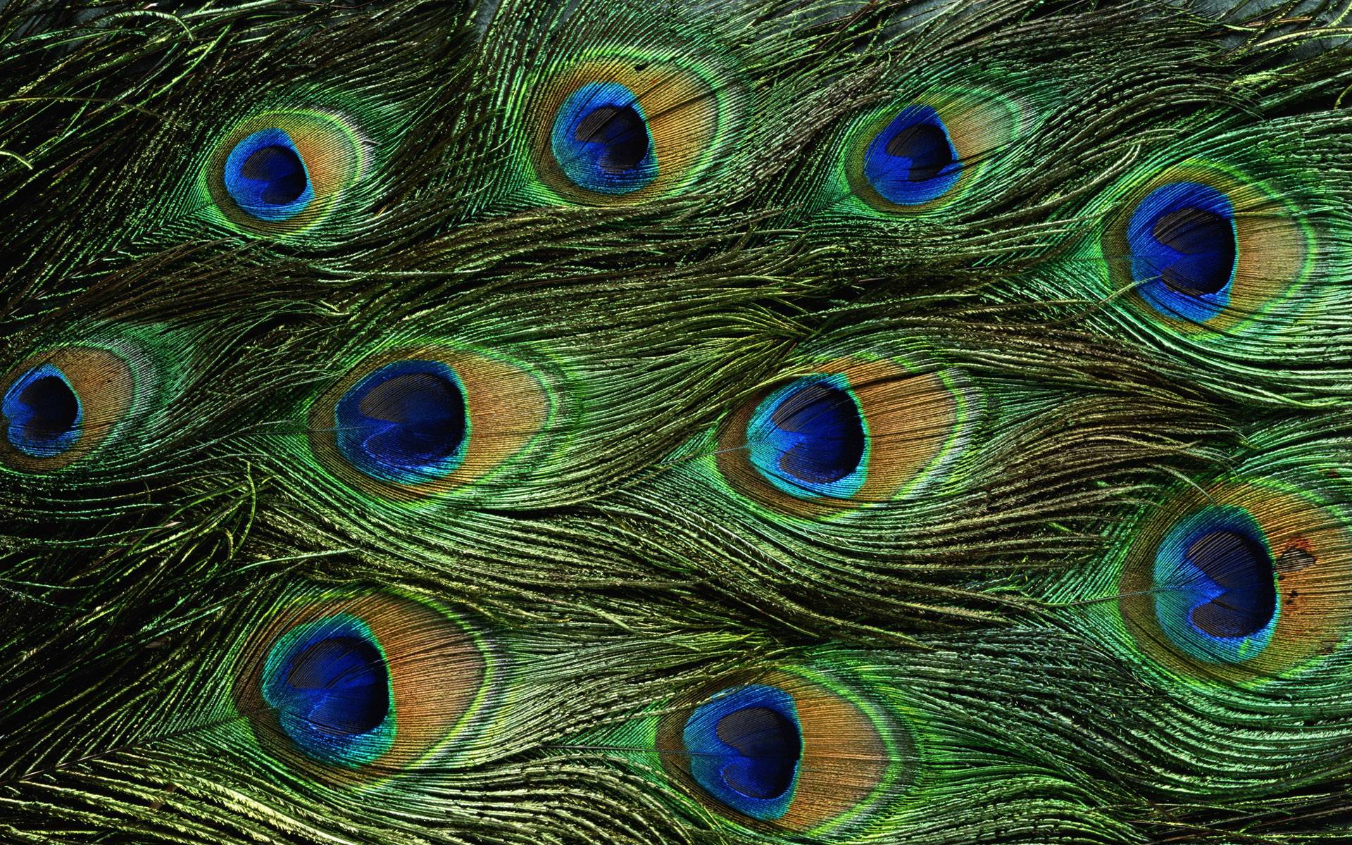 Wallpapers Of Peacock Feathers HD 2015 1920x1200