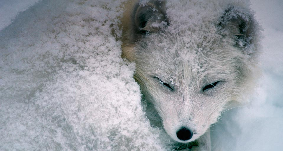 Snow Fox Wallpaper Wallpapersafari