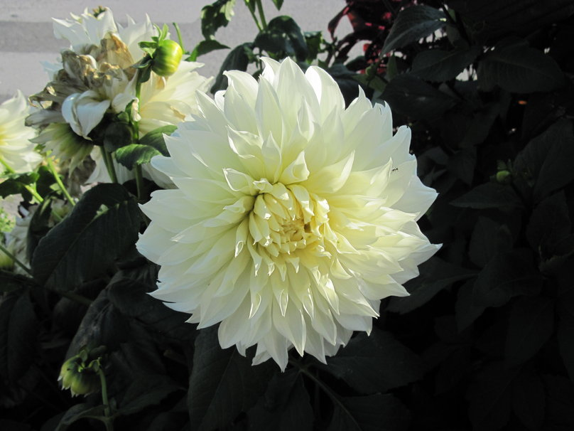 White Dahlia in BC   Canada wallpaper   ForWallpapercom 808x606
