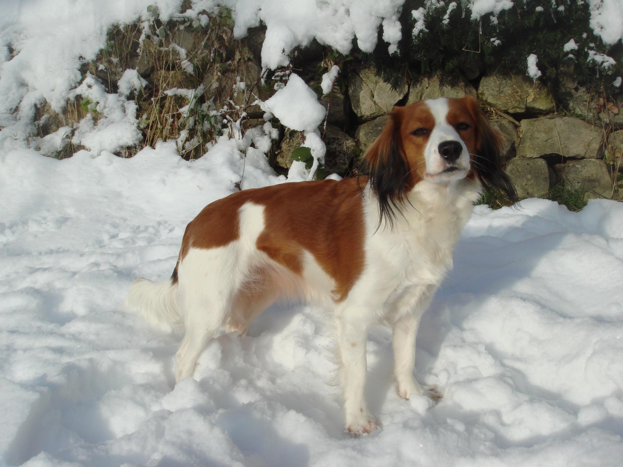Winter Kooikerhondje Dog Wallpaper 2048×1536 #195657 HD Wallpaper Res ...