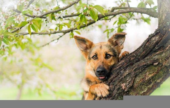 German shepherd shepherd dog dog snout view wood wallpapers 596x380