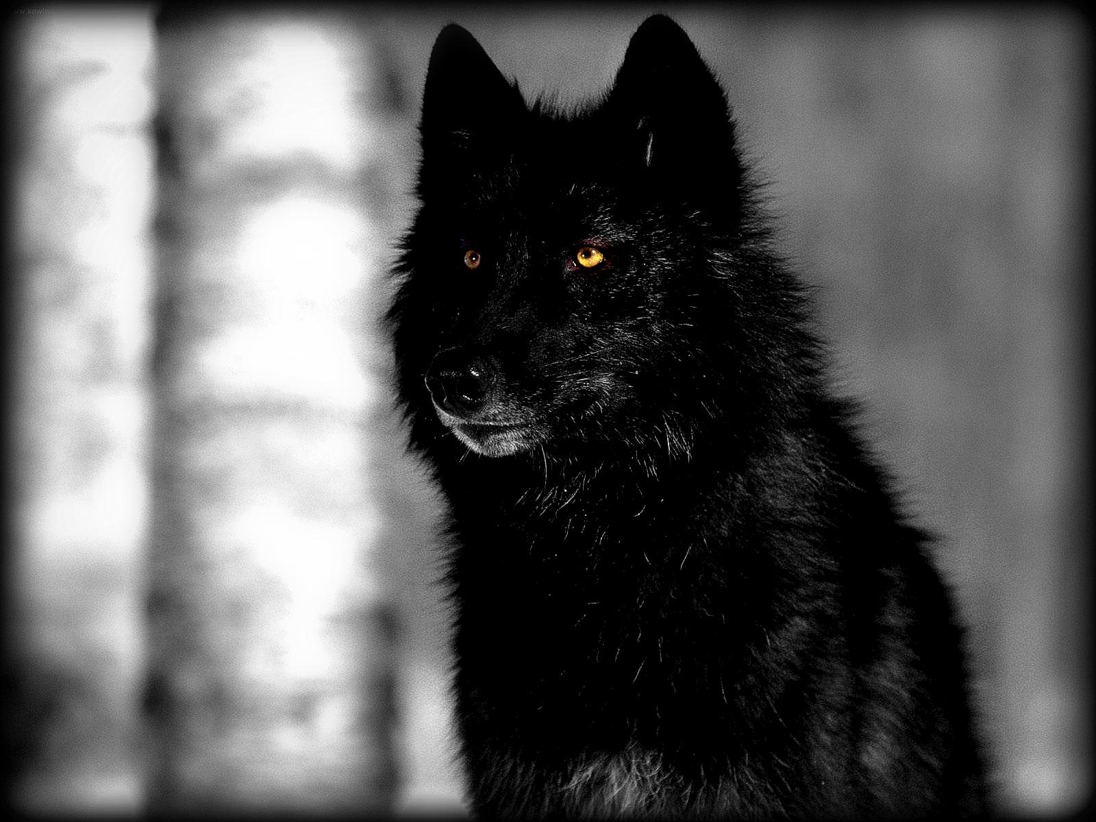 70 Black Wolf Wallpapers On Wallpapersafari