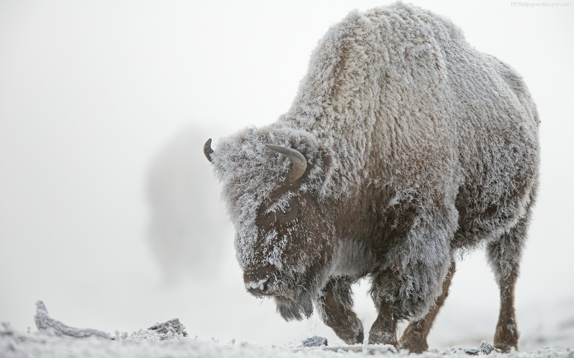 Bison Wallpaper - WallpaperSafari