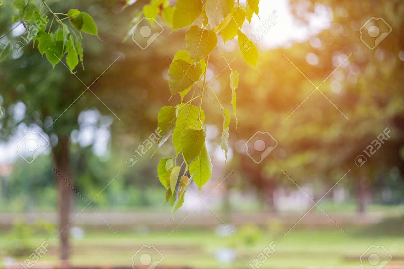 Bo Leaf And Weather fair And Bohke Background Stock Photo Picture 1300x866