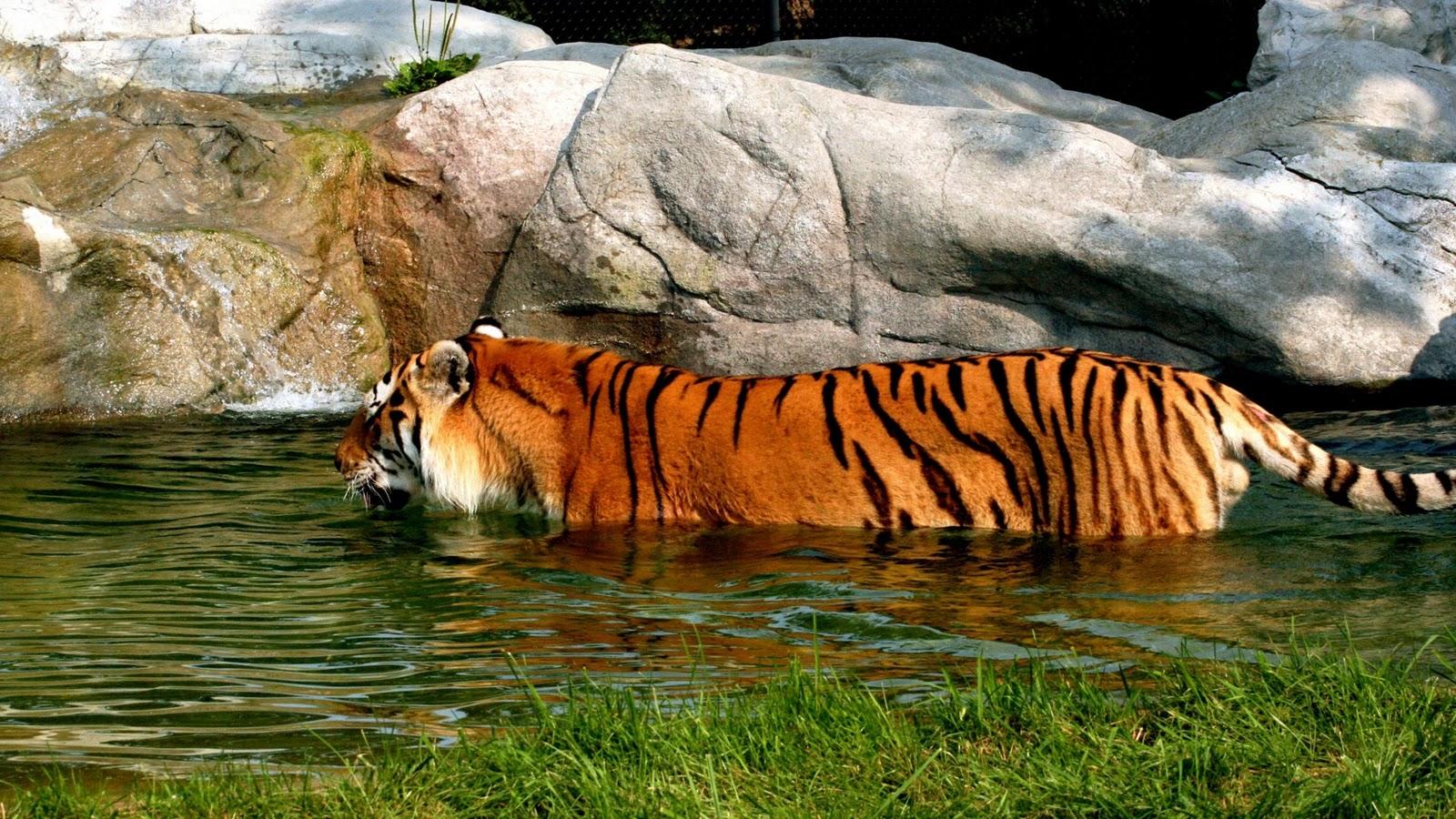 Best Desktop HD Wallpaper   Tiger HD wallpapers 1600x900