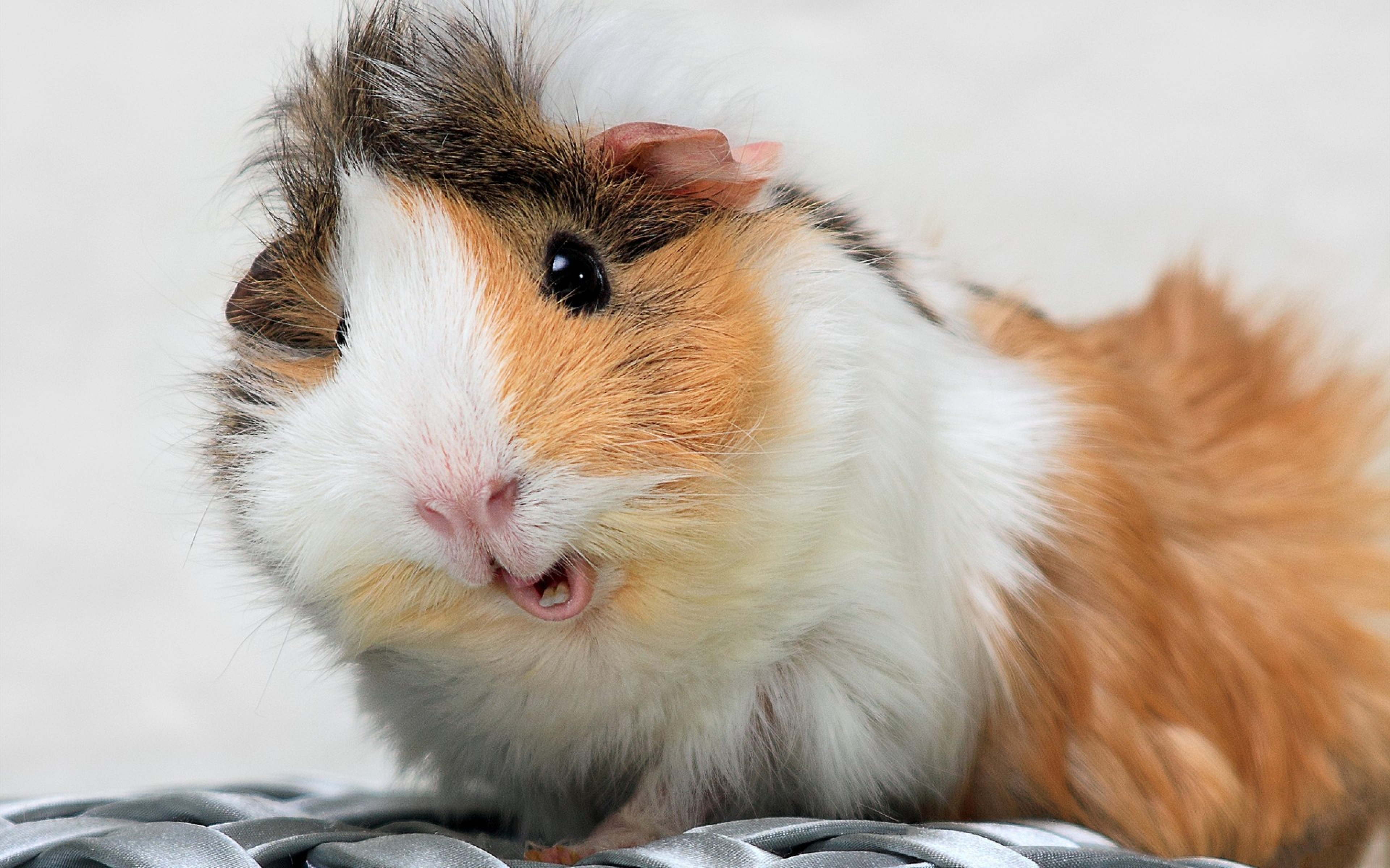4K Guinea Pig Wallpapers High Quality Download 3840x2400