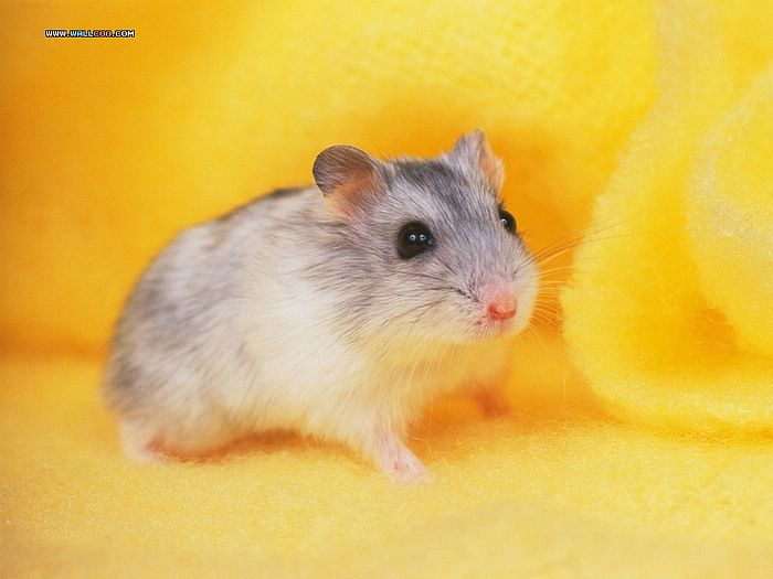 Cute Little Hamsters photos Little creatures hamsters wallpapers 700x525