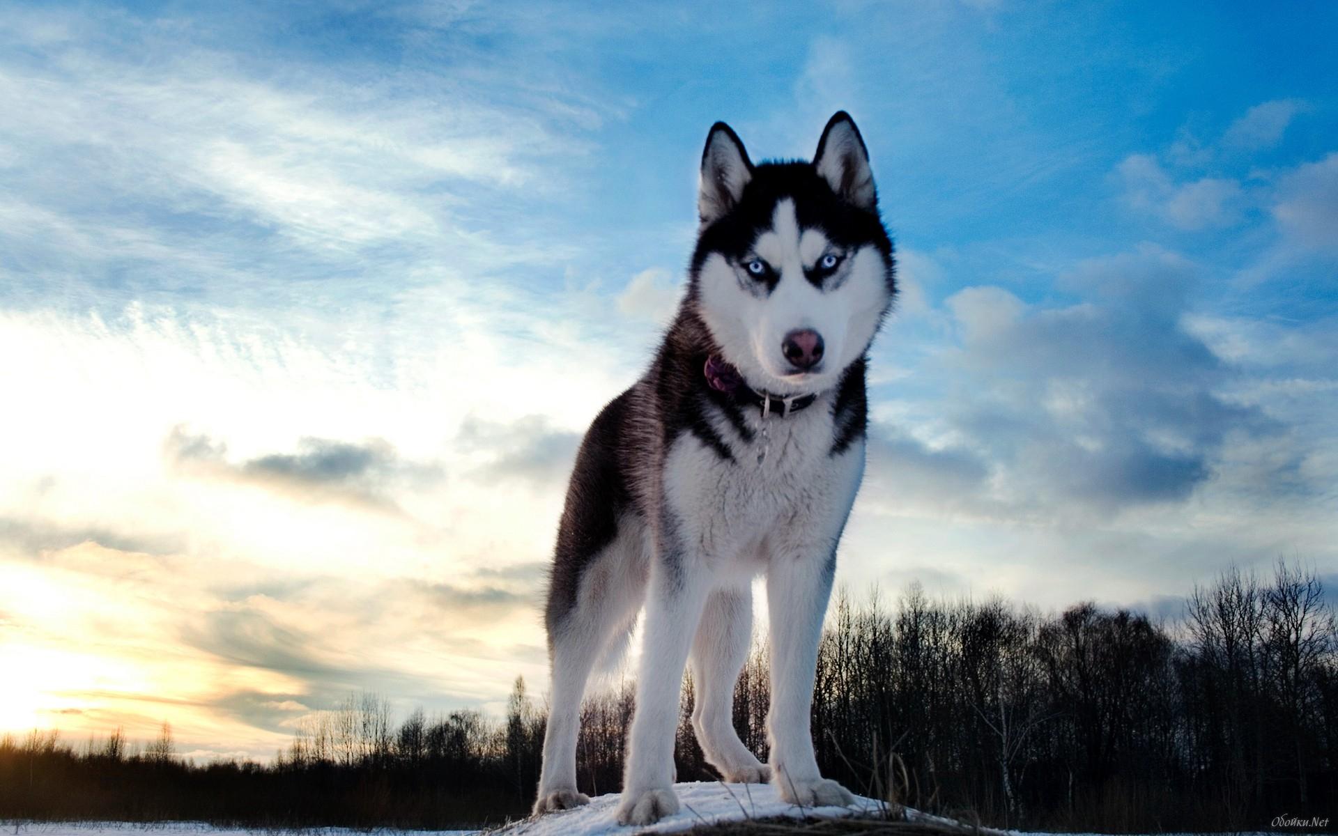 Husky Dog Winter HD Wallpaper For Desktop