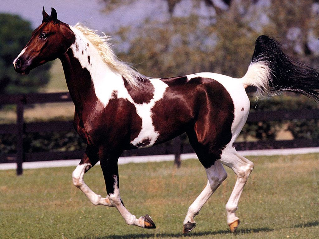 White And Brown Colored Horse Wallpaper 1024768 Pictures 1024x768